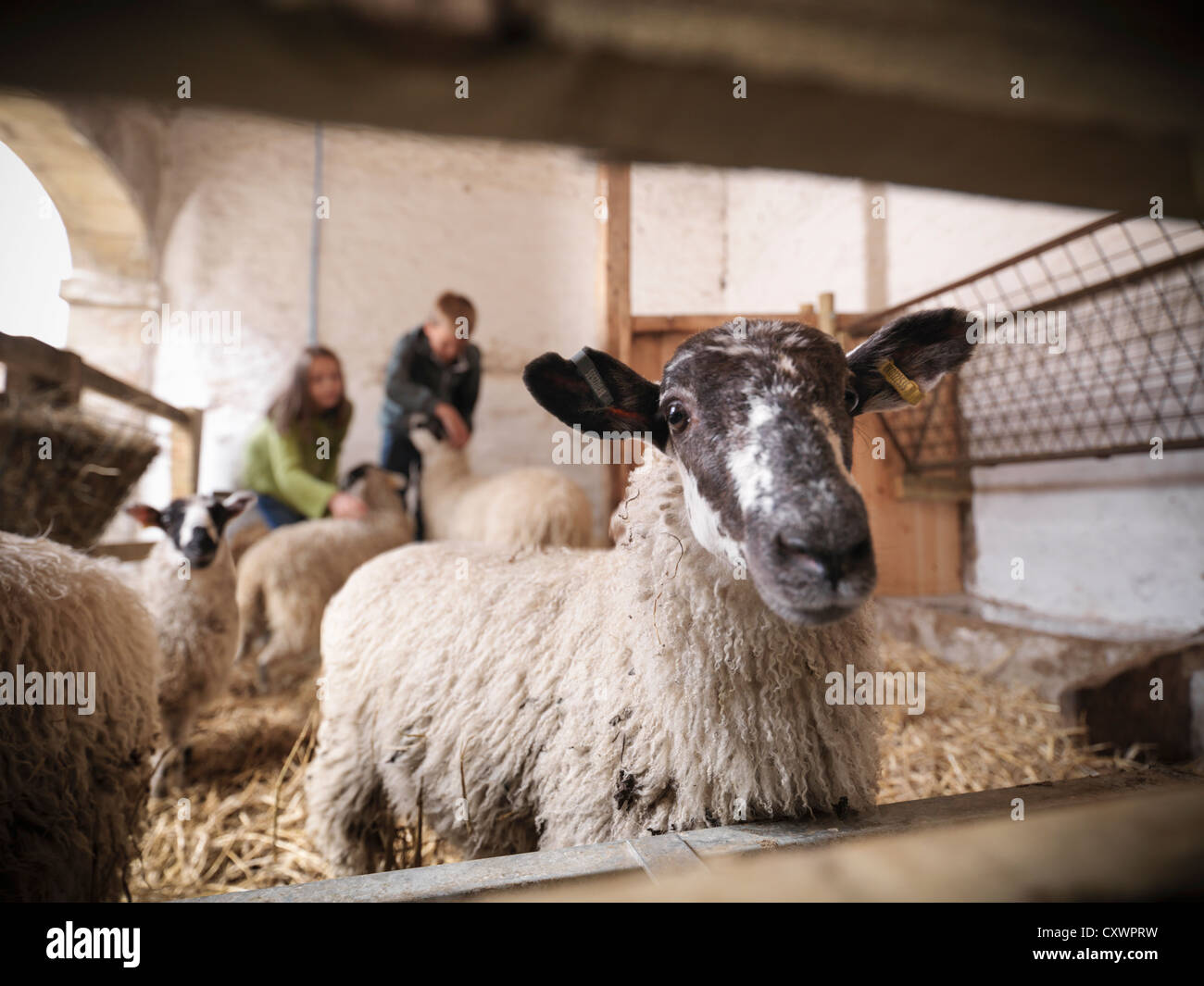 Close up of sheep in barn - Stock Image