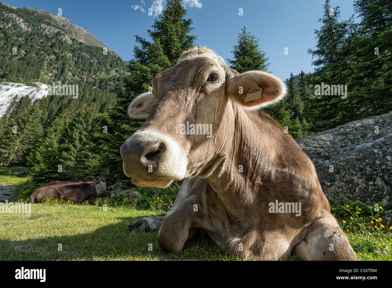 Tyrolean Brown Cattle, cow without horns ruminating, Grawa Alm, mountain pasture, Stubai Valley, Tyrol, Austria, - Stock Image