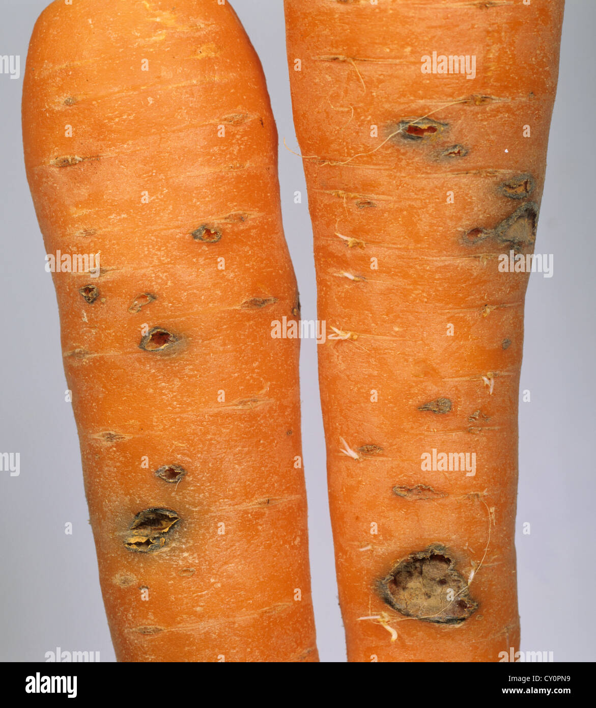 Cavity spot damage to a carrot root which results from several causes - Stock Image