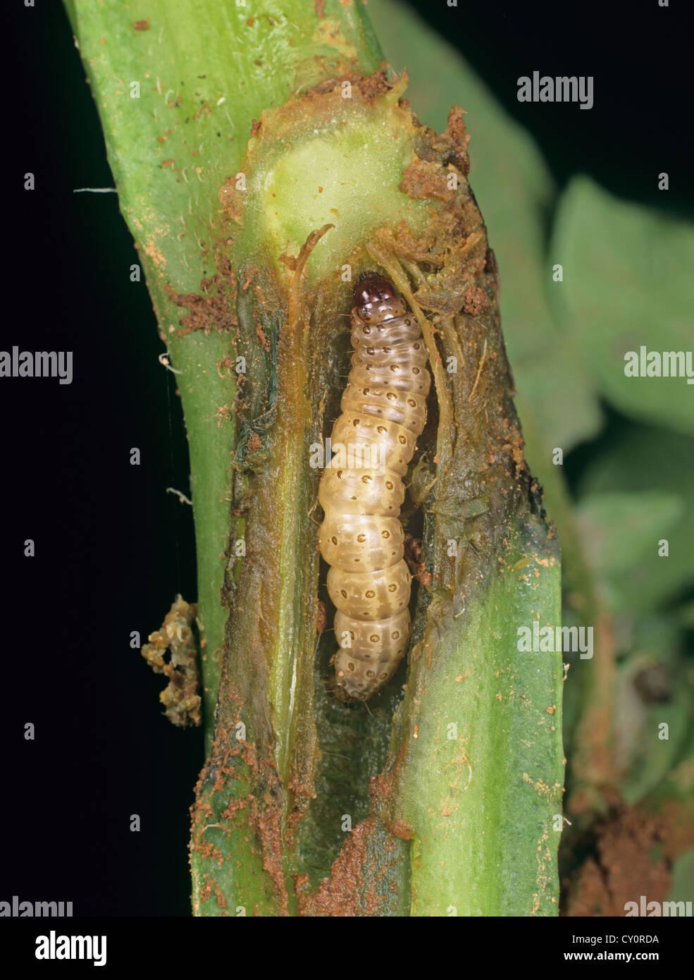 European corn borer, Ostrinia nubialis, caterpillar in damaged potato stem - Stock Image