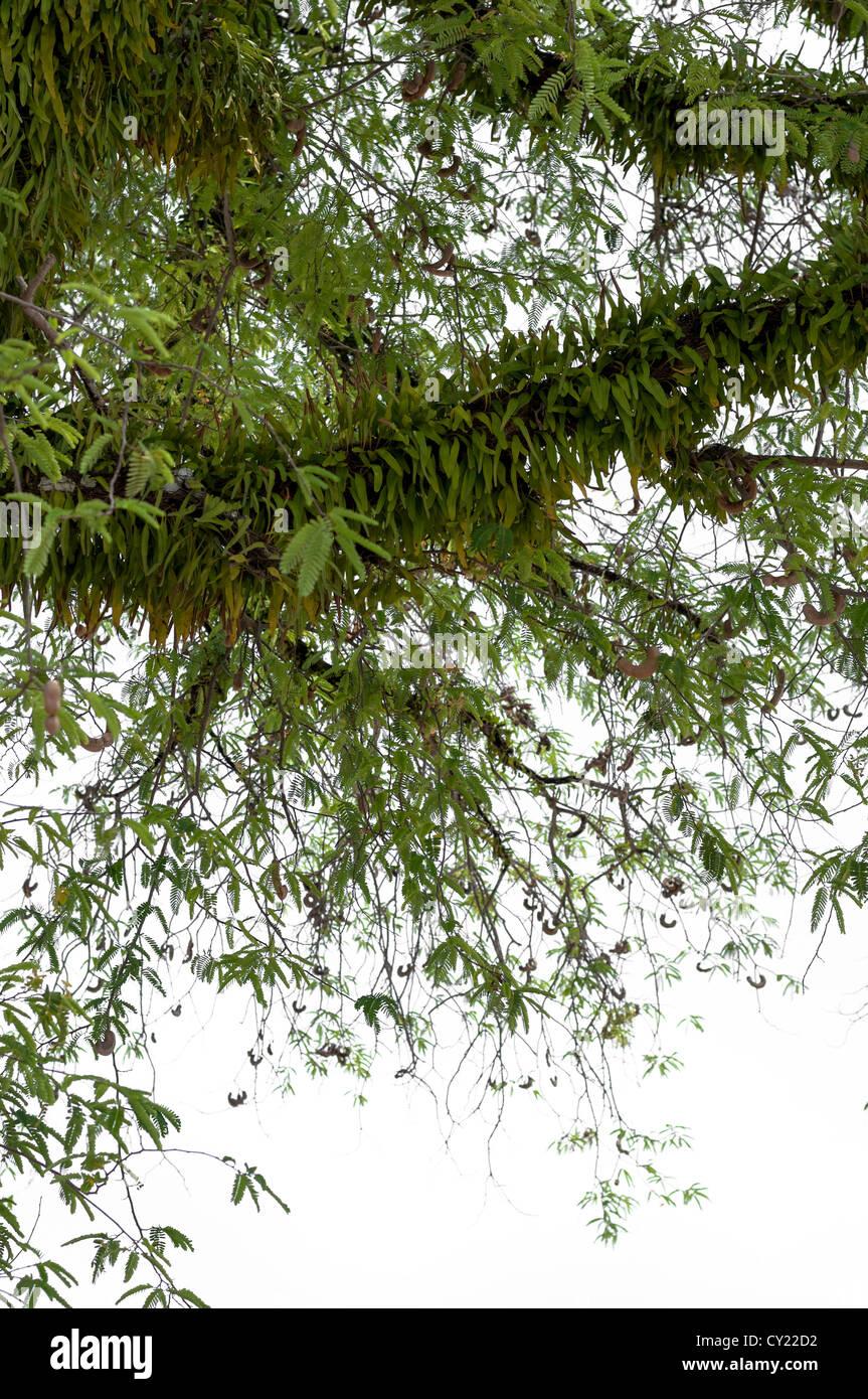 Pyrrosia on big tree,isolate on white background. - Stock Image