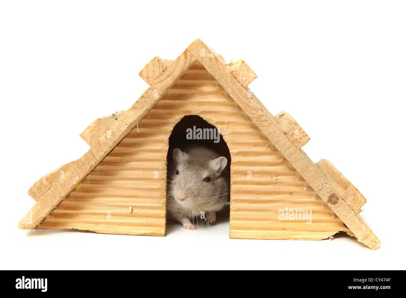 Humour. Successful mouse living in a wooden house. On white Background - Stock Image