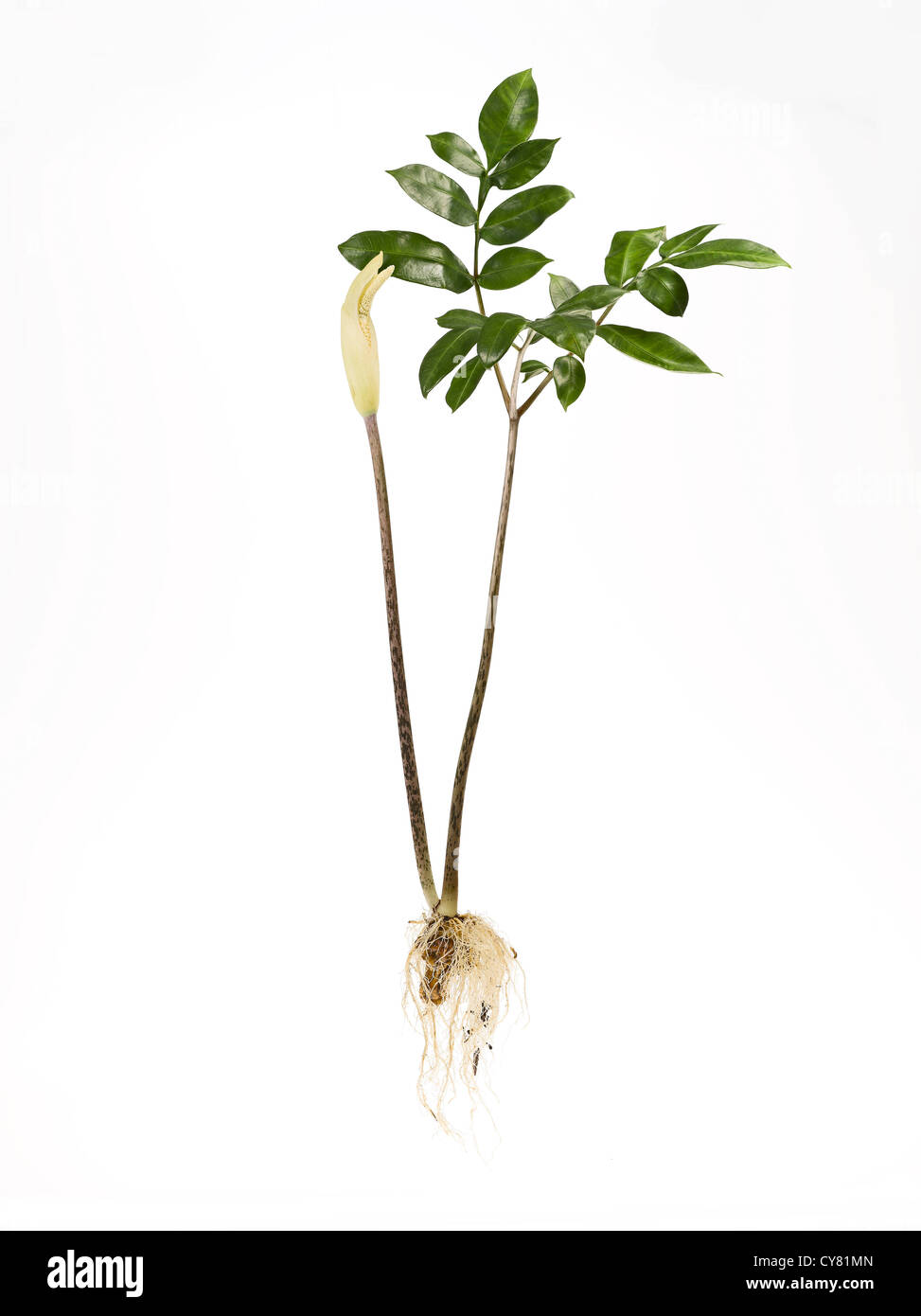 Konjak Plant With Root and Leaves - Stock Image