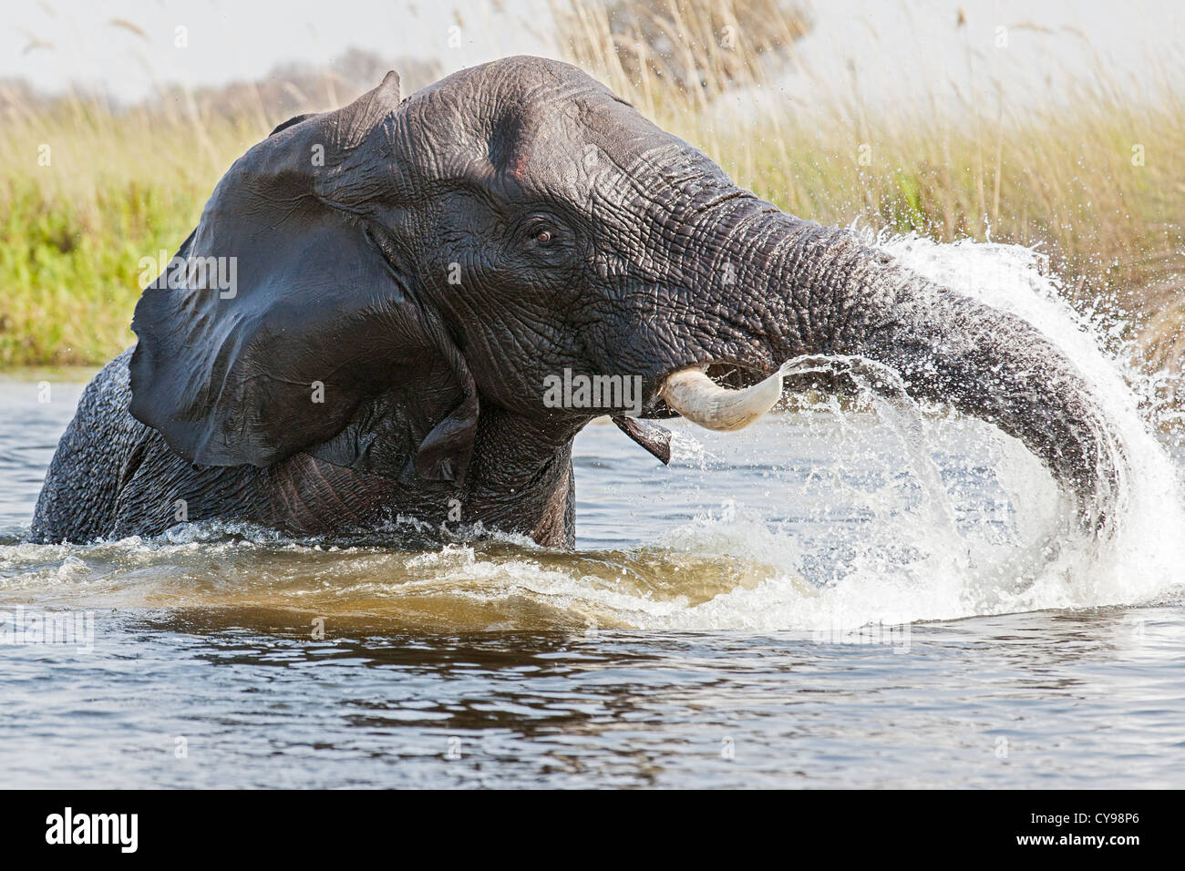 Close-up of an African elephant (Loxodonta africana) playing in the water channels of the Okavango delta - Stock Image