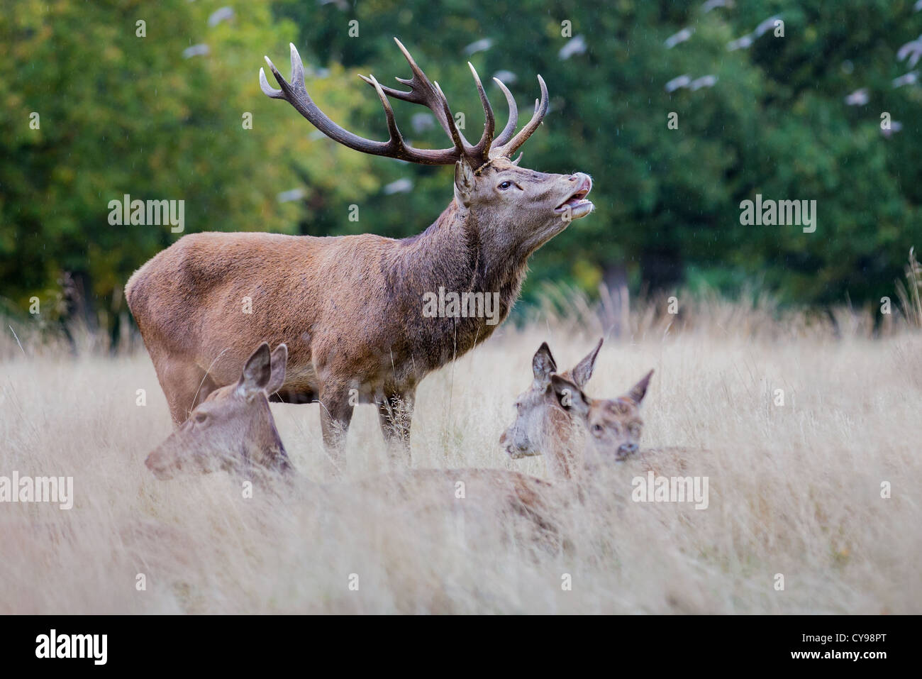 Red deer stag (Cervus elaphus) bellowing in the rain during rutting season, Richmond, England - Stock Image