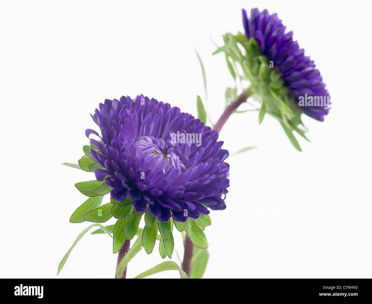 Callistephus chinensis matsumoto china aster purple flowers on callistephus chinensis matsumoto china aster purple flowers on stems against a white background mightylinksfo Choice Image