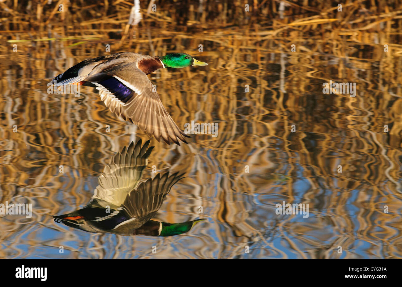Mallard duck flying low over the water with his reflection - Stock Image