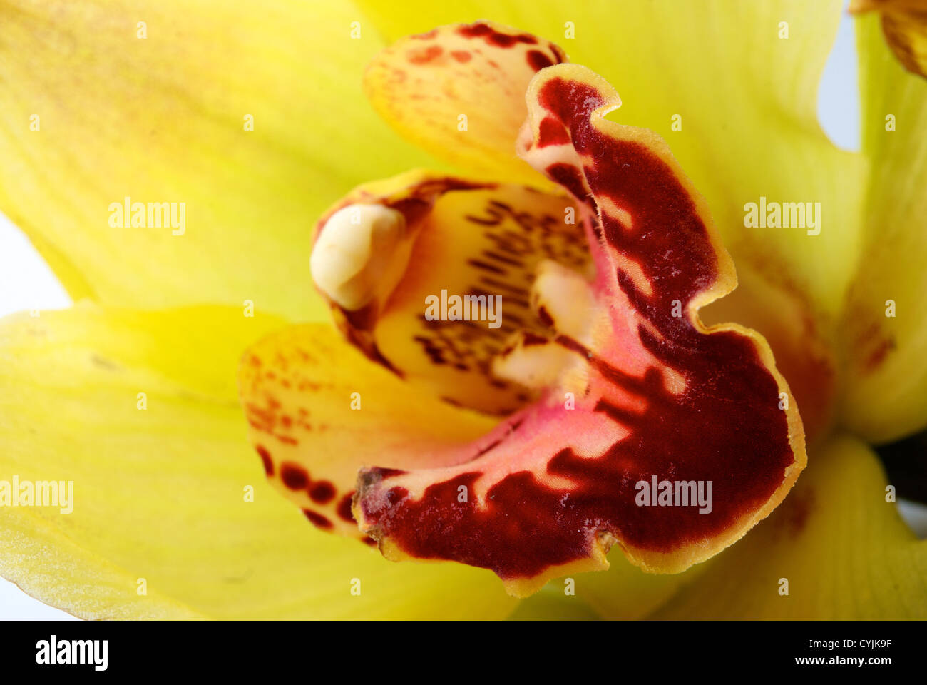 Yellow orchid closeup. Abstract background - Stock Image