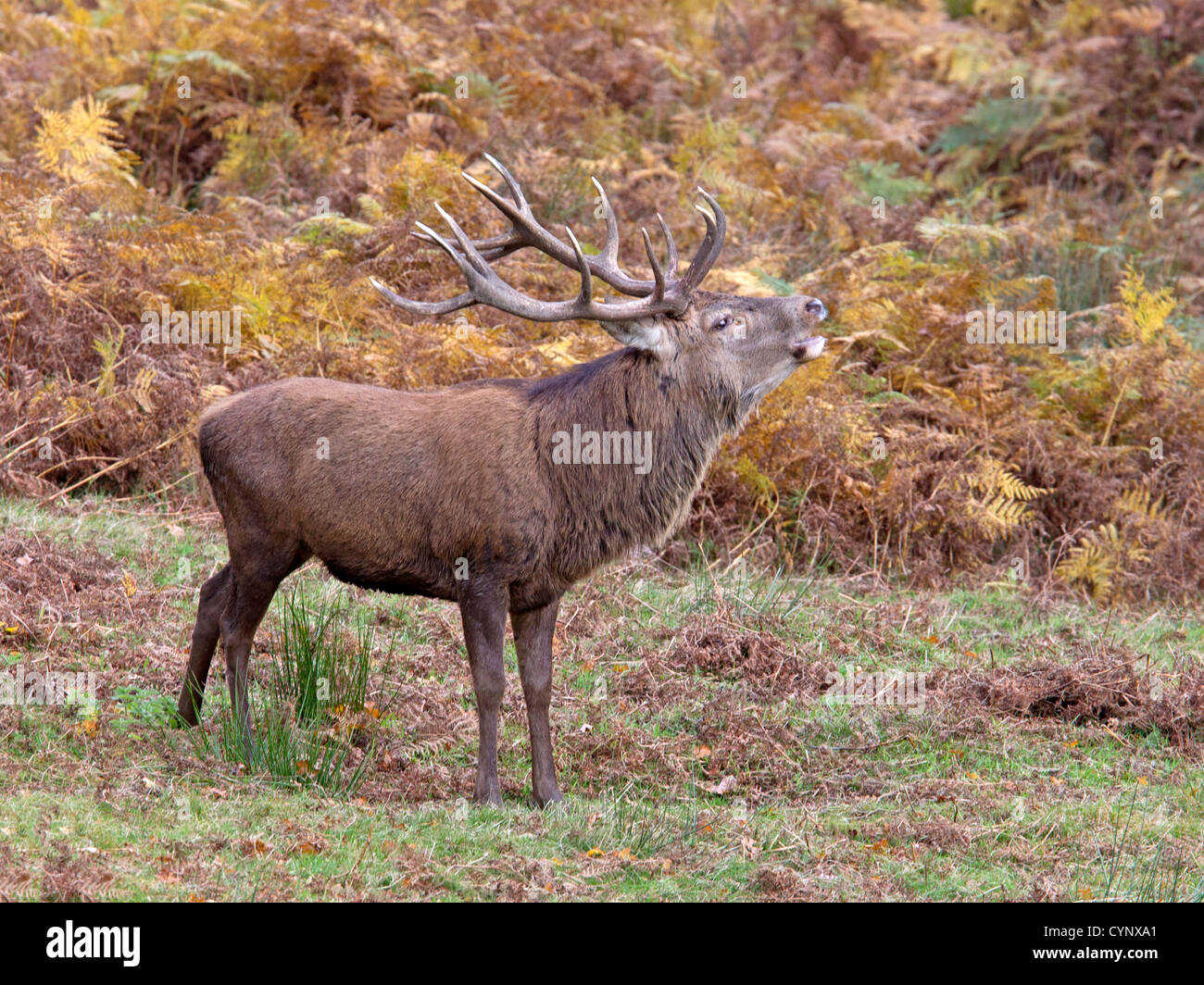 Red deer stag bellowing during rut - Stock Image