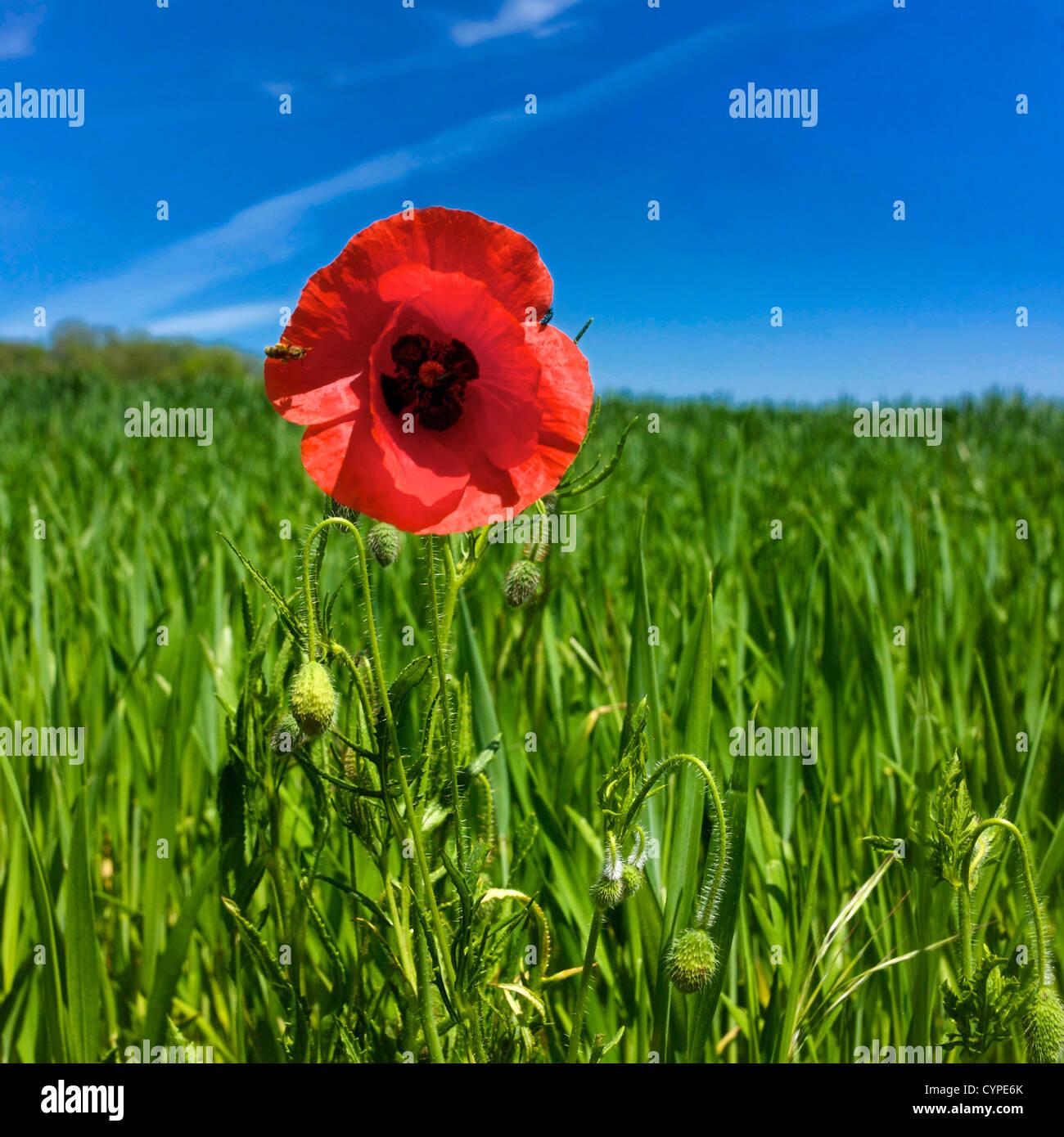 Single Poppy Flower In A Field Of Wheat Stock Photo 51510555 Alamy