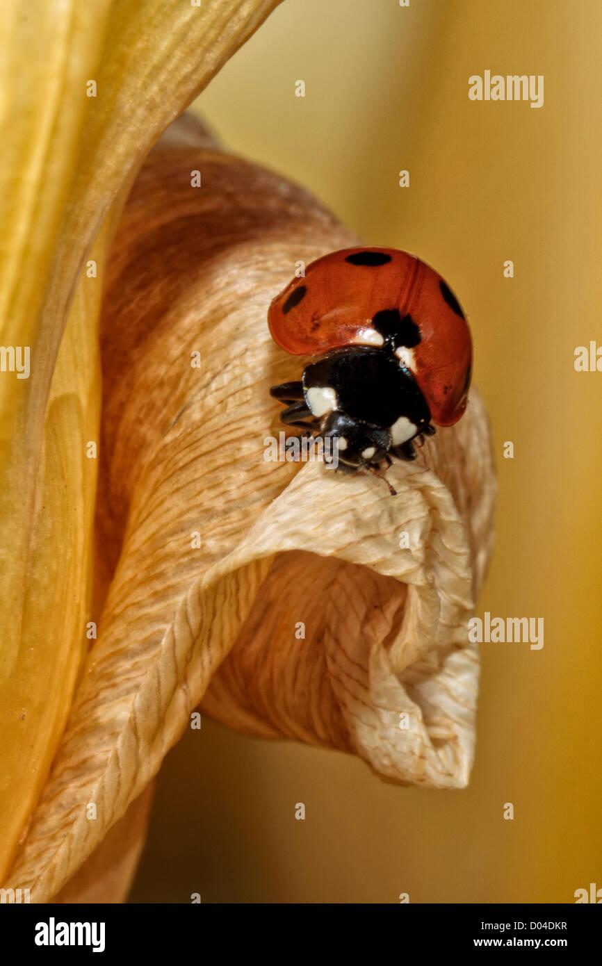 Lady Bug on Tulip - Stock Image