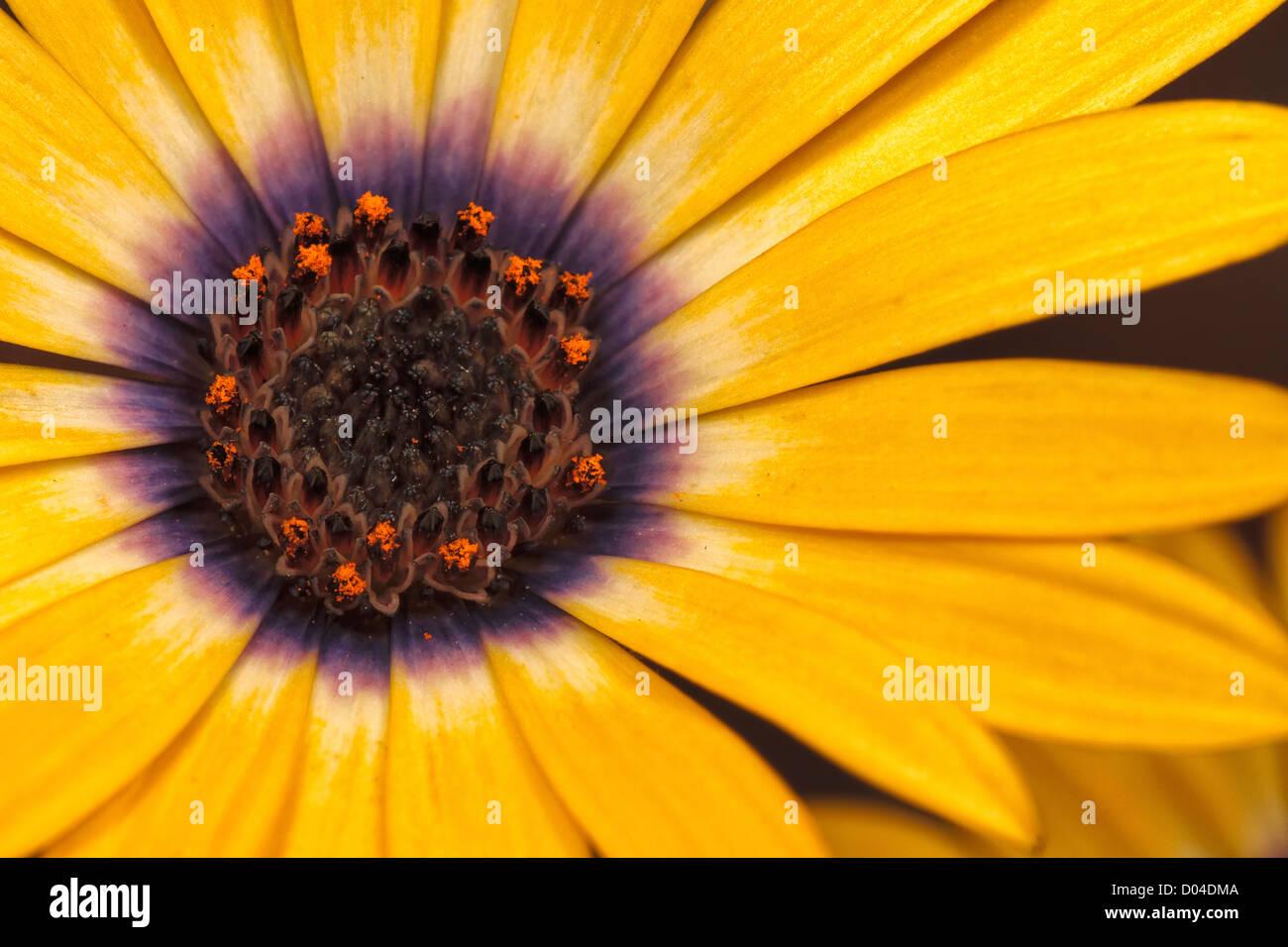 Osteospermum -Yellow Symphony - Stock Image