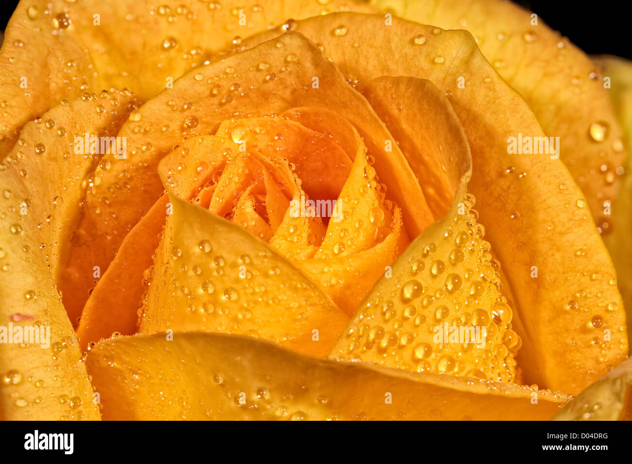 Dew Drops on a Yellow rose - Stock Image