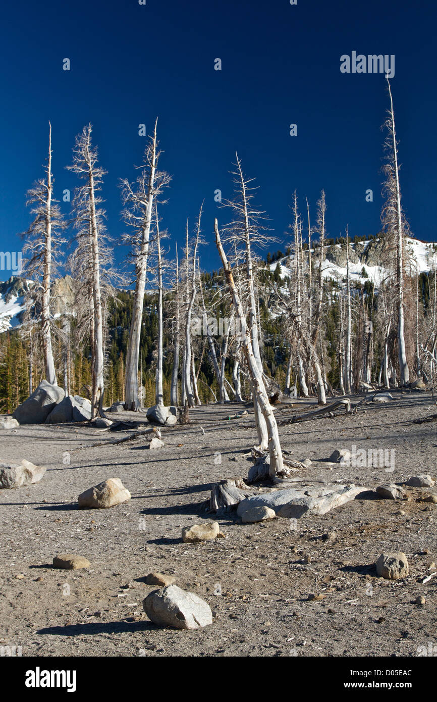 Trees poisoned by carbon dioxide at Horseshoe Lake, near Mammoth Lakes, California. - Stock Image