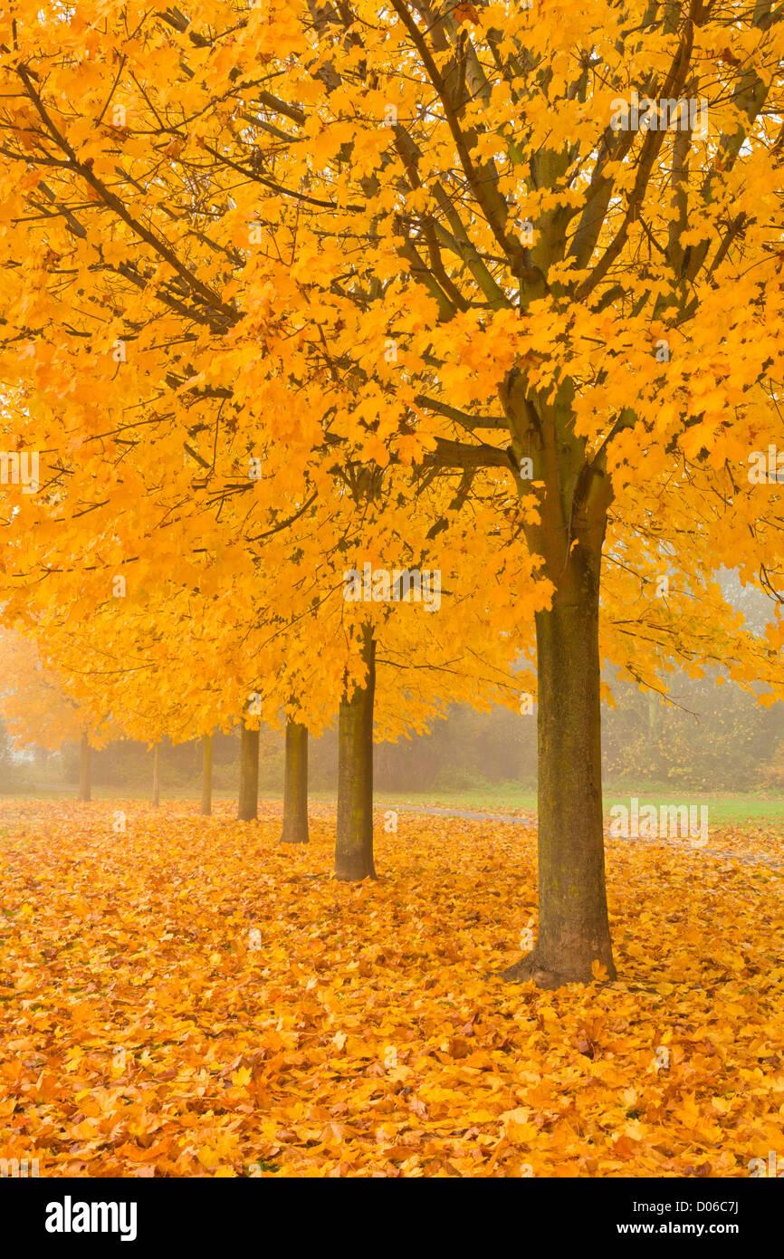 Misty Sycamore Tree Avenue in Autumn, Long Eaton, Nottingham, England, GB, UK, EU - Stock Image