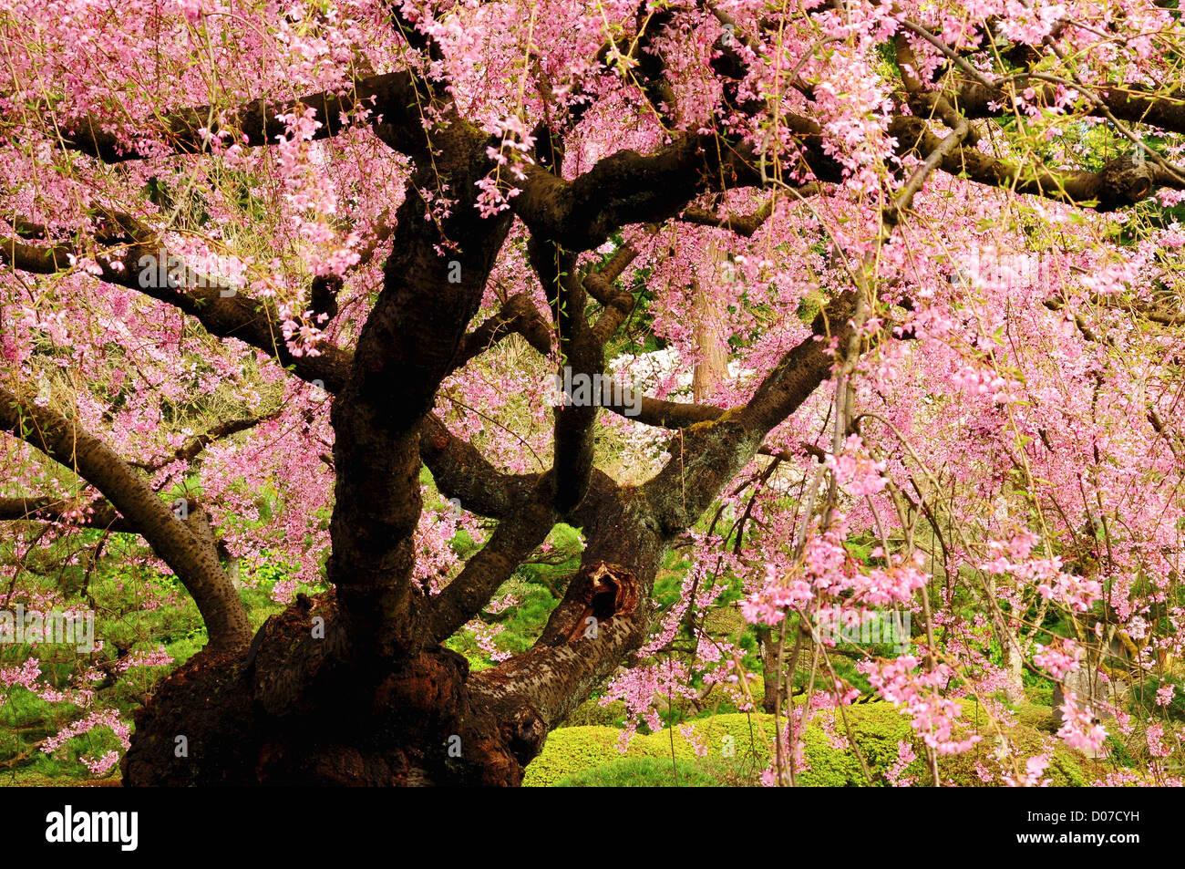Cherry Tree in Bloom, Portland Japanese Garden, Portland, Oregon ...