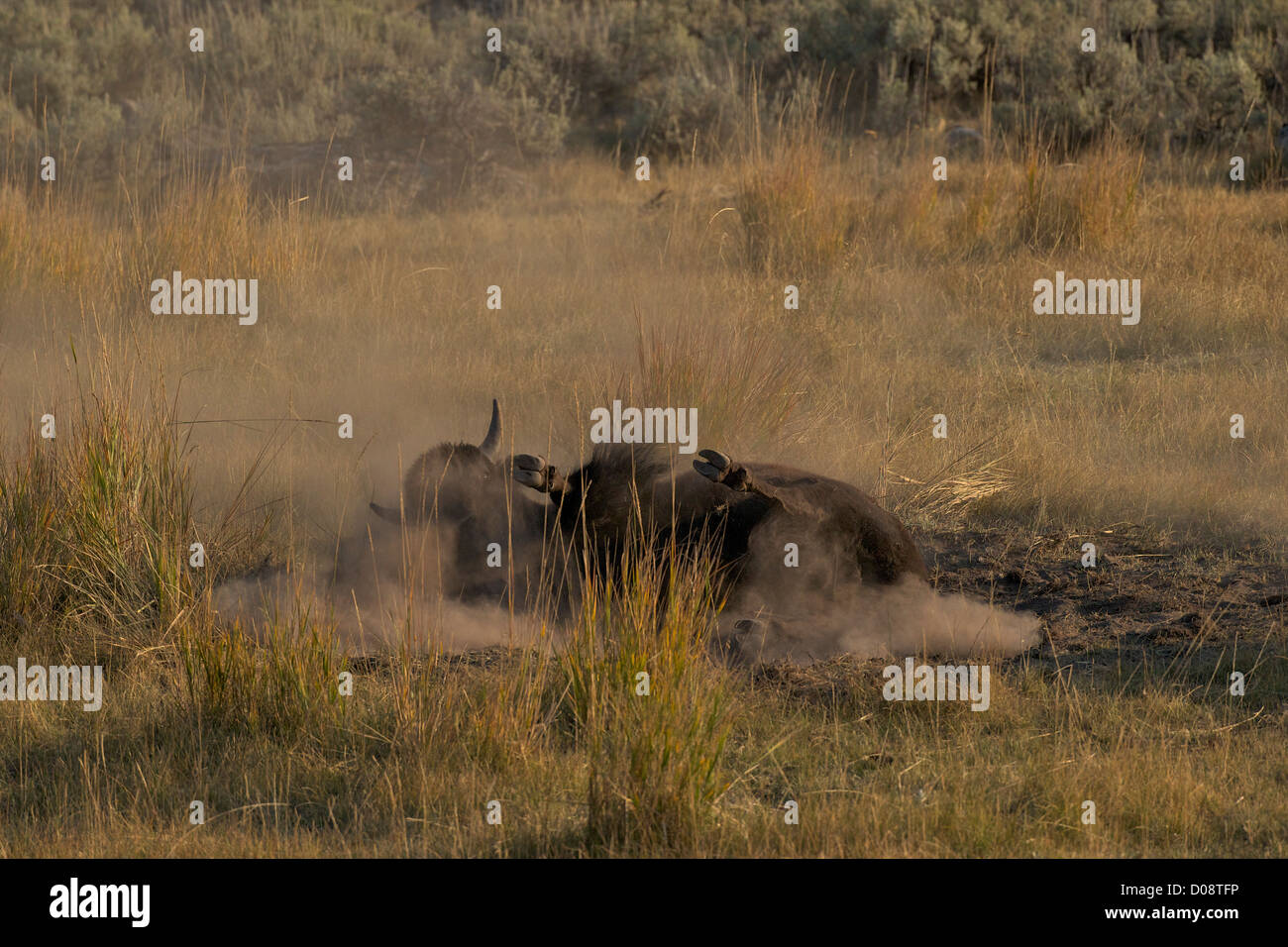 Bison enjoying a dust bath in the Lamar Valley, Yellowstone National Park, Wyoming, USA - Stock Image