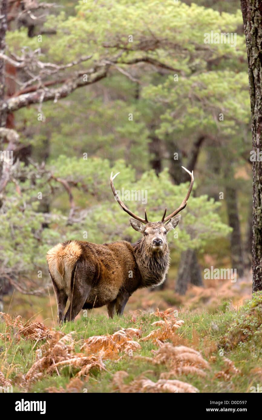 Red Deer stag (cervus elaphus) in the wild Scottish Highlands. Pictured in Glen Cannich, Inverness-shire, Scotland - Stock Image