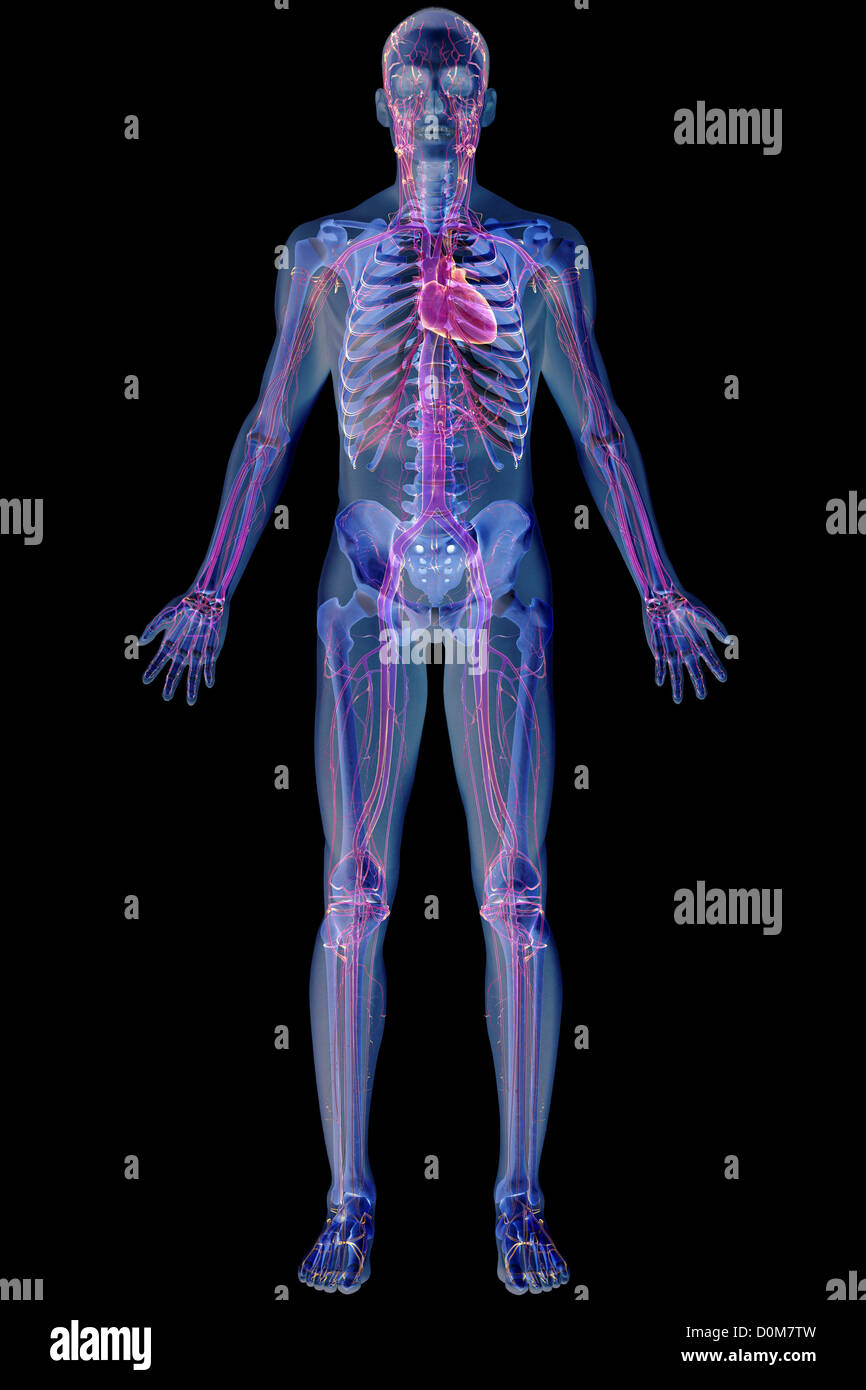 Full Body View Of The Cardiovascular System Stock Photo 52076329