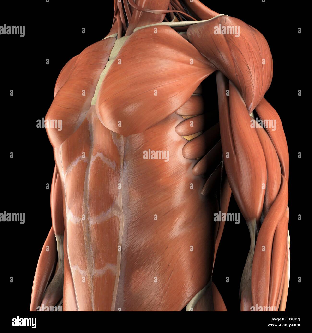 Anatomical Model Showing The Pectoralis Major Deltoid Biceps Stock
