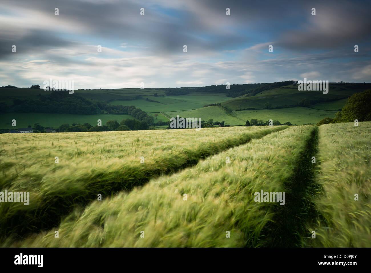 A barley field, nr Plush, Dorset, England, UK - Stock Image