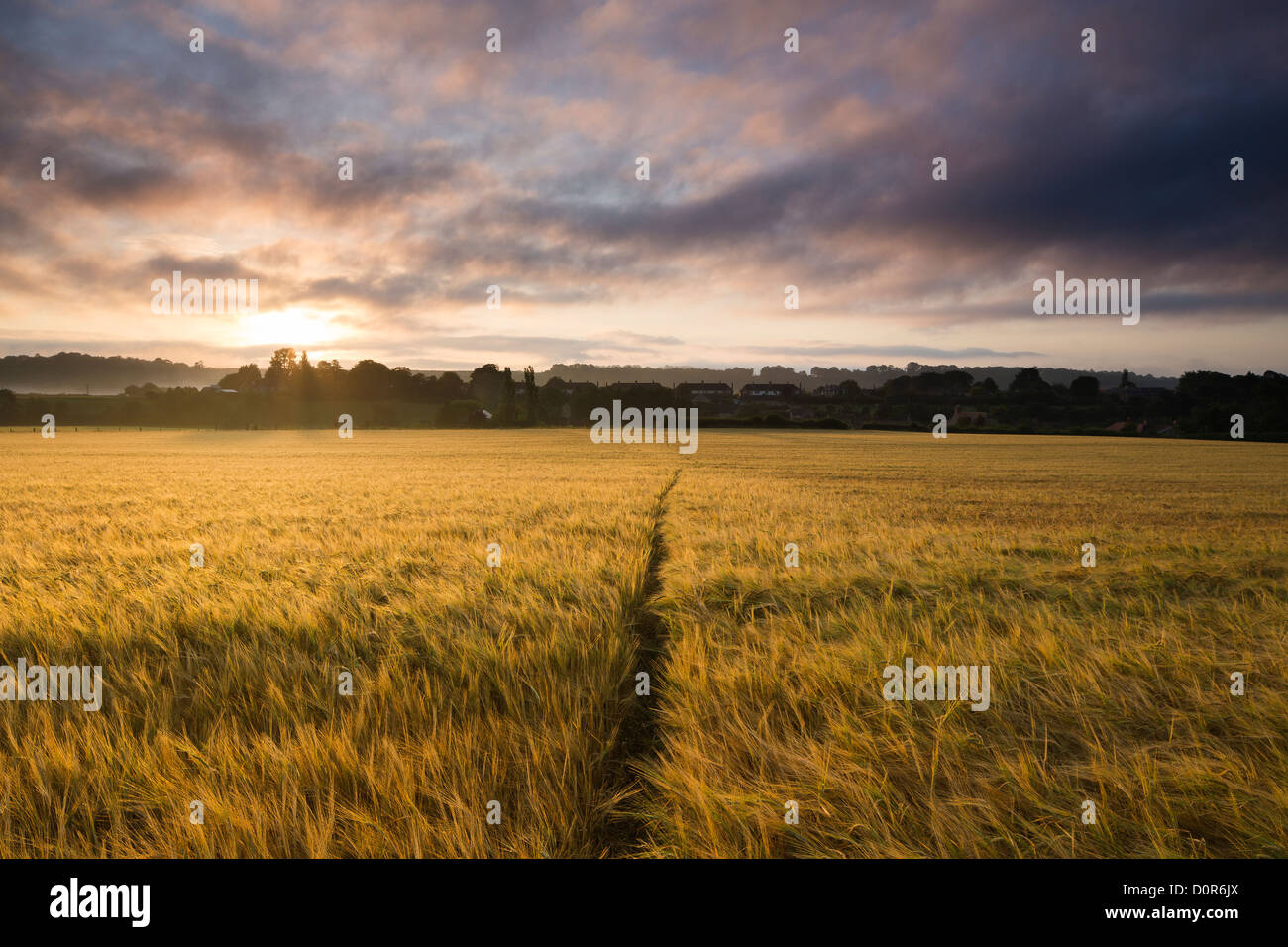 a field of barley at dawn, Milborne Port, Somerset, England, UK - Stock Image