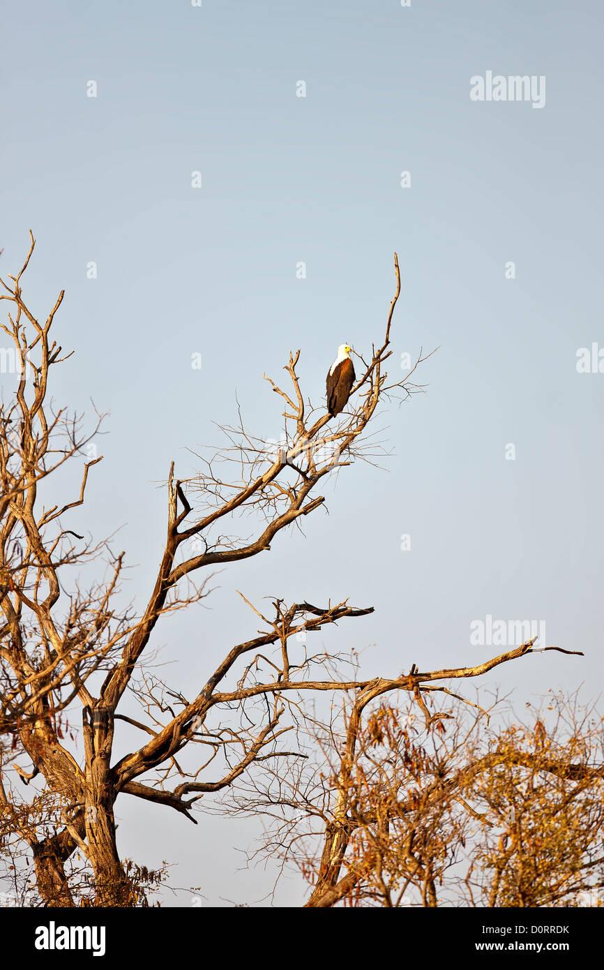 African Fish Eagle sitting on tree in Ngepi Namibia - Stock Image