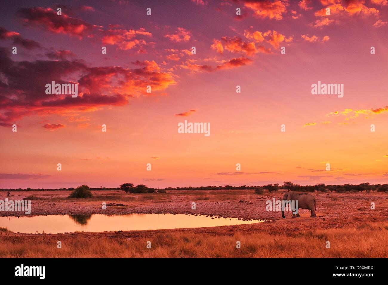 Africa, Namibia, Etosha, National Park, sunset, elephant, animal, waterhole, safari, animal, wildlife, red, Loxodonta - Stock Image
