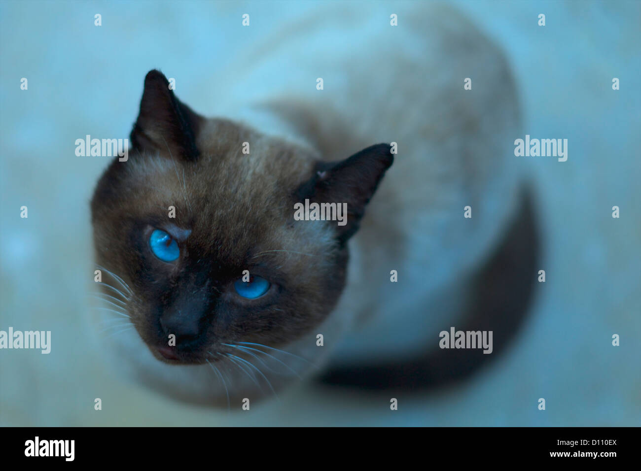 Gray and white cat looking up - Stock Image