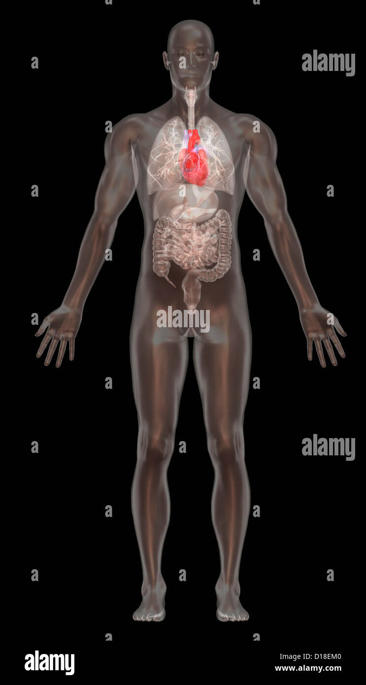 Computer graphic illustration, normal male anatomy - Stock Image