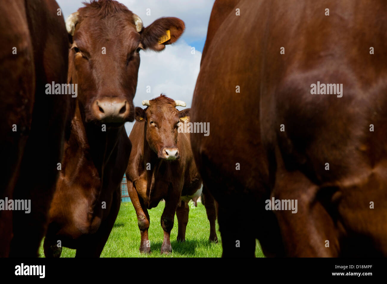 The cattle breed Belgian Red is a breed from West Flanders in Belgium - Stock Image