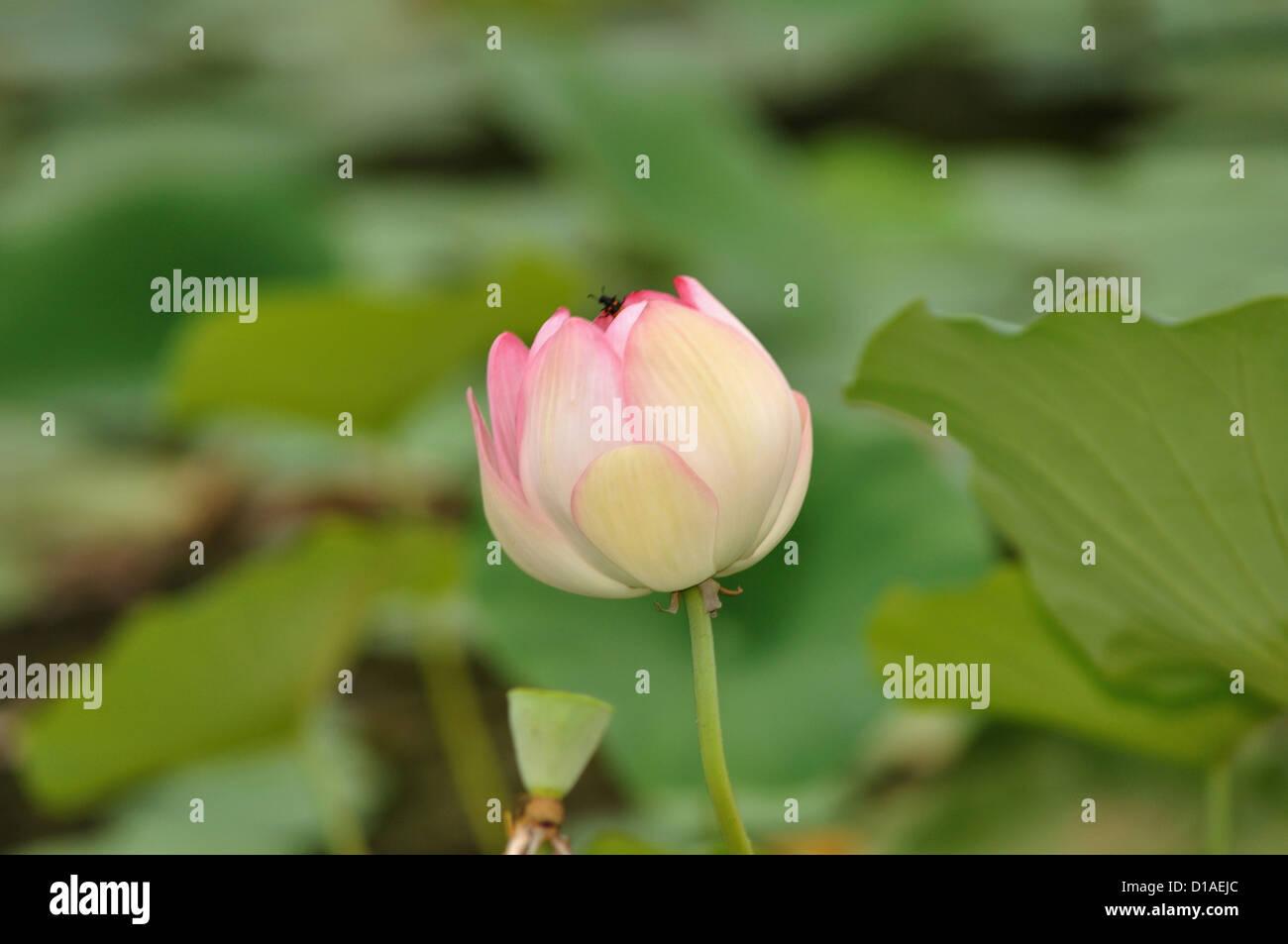 Pink Lotus Sacred Lotus Nelumbo Nucifera Family Nelumbonaceae
