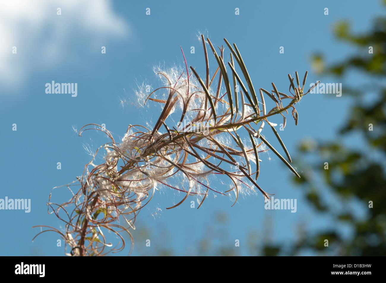 Rosebay willowherb [Chamerion angustifolium] seedhead. West Sussex, UK. September. - Stock Image