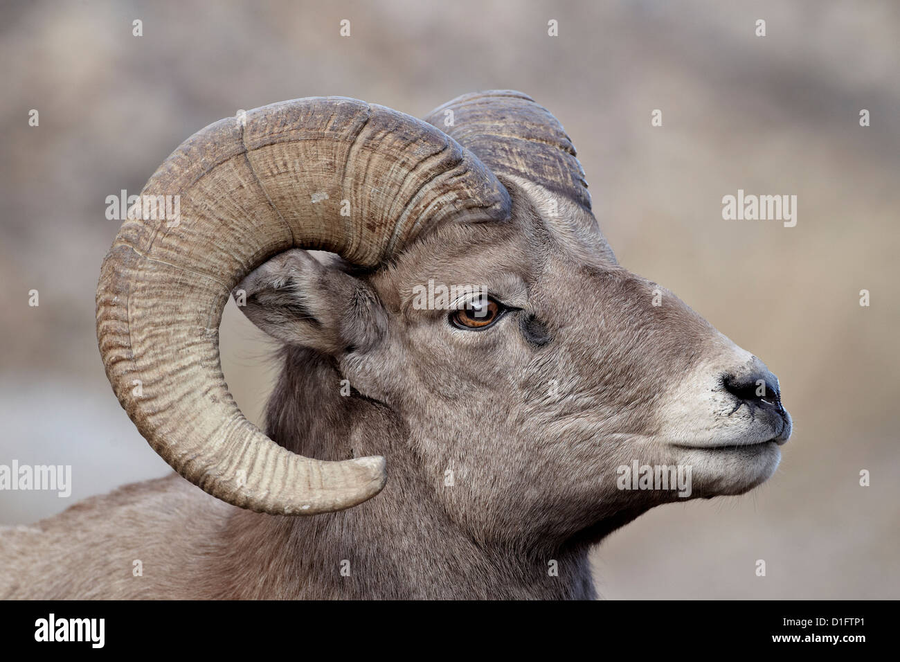 Bighorn sheep (Ovis canadensis) ram durng the rut, Clear Creek County, Colorado, United States of America, North - Stock Image