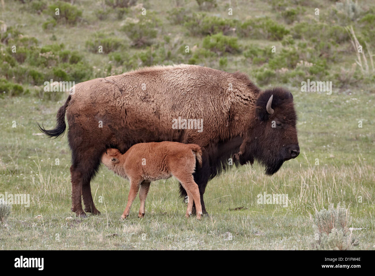 Bison (Bison bison) cow nursing her calf, Yellowstone National Park, Wyoming, United States of America, North America - Stock Image