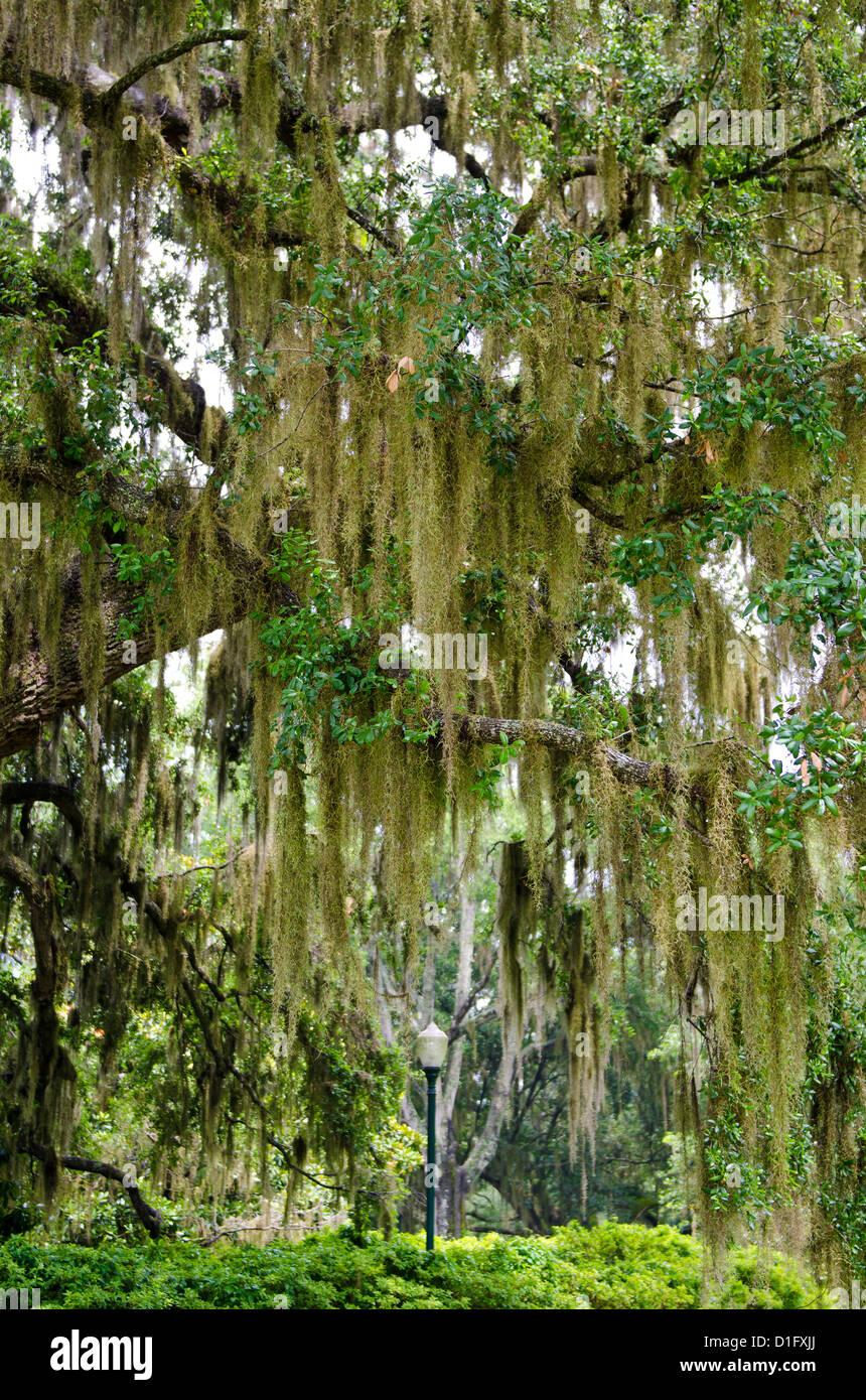 Spanish moss, Orlando, Florida, United States of America, North America - Stock Image