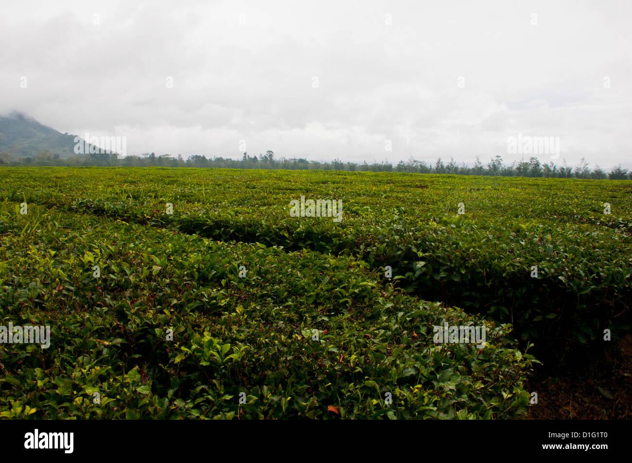 Tea plantation, Highlands, Papua New Guinea, Pacific - Stock Image