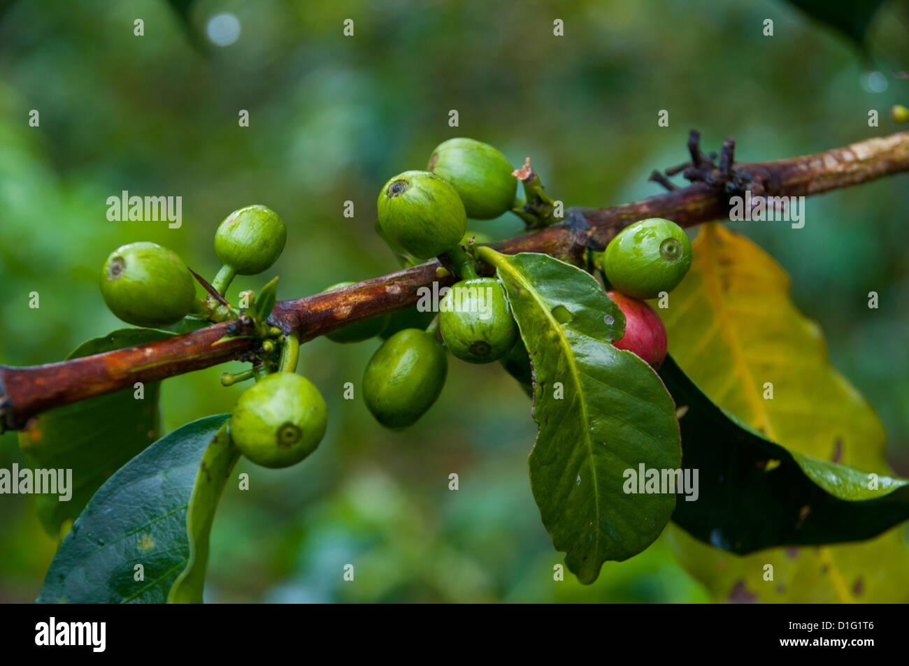 Coffee beans, Highlands, Papua New Guinea, Pacific - Stock Image