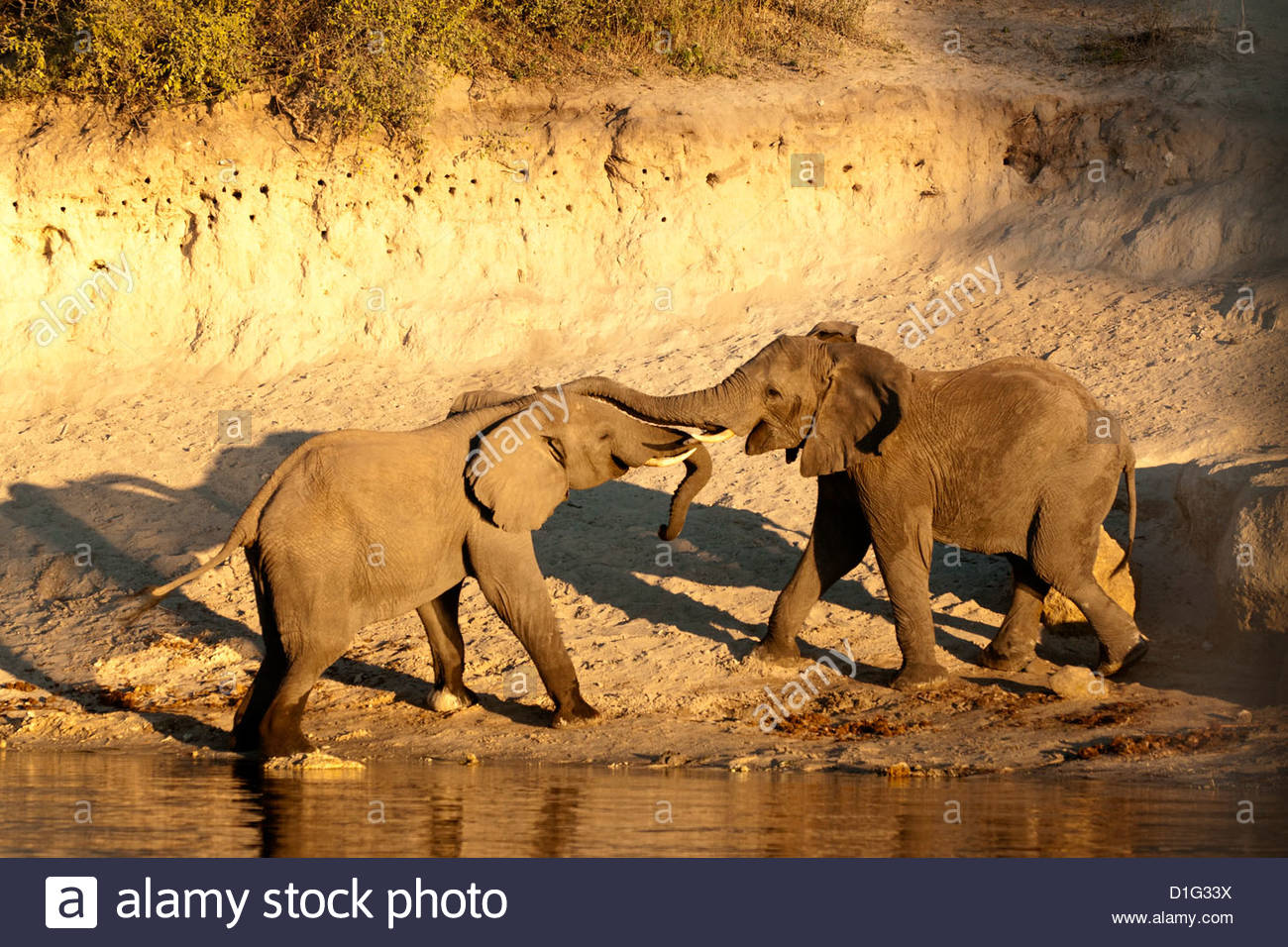 Two African elephants (Loxodonta africana) touching trunks on a riverbank, Chobe River, eastern Caprivi Strip, Namibia, - Stock Image