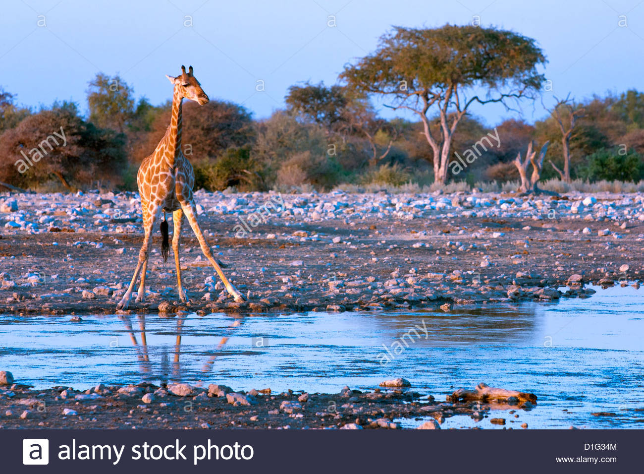 Giraffe (Giraffa camelopardis), Namibia, Africa - Stock Image