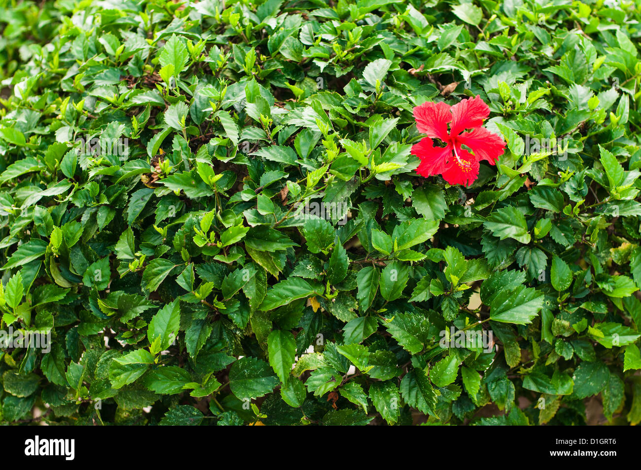 Red Hibiscus Flower On Green Leaves Wall Stock Photo 52615702 Alamy