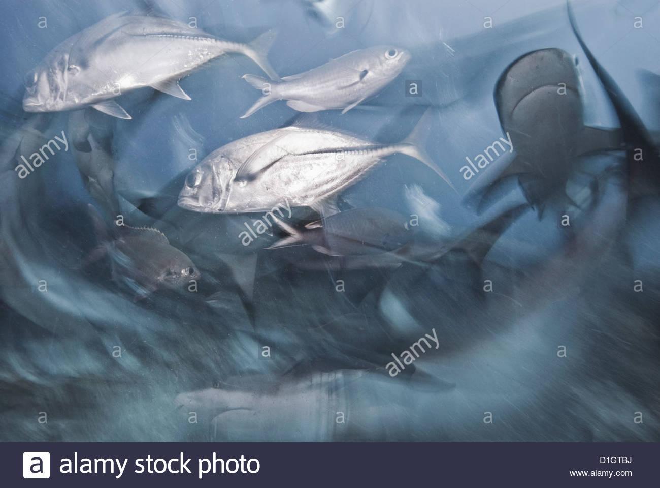 Caribbean reef shark and Horse-eye jack (Caranx latus) during feeding frenzy, Roatan, Bay Islands, Honduras - Stock Image