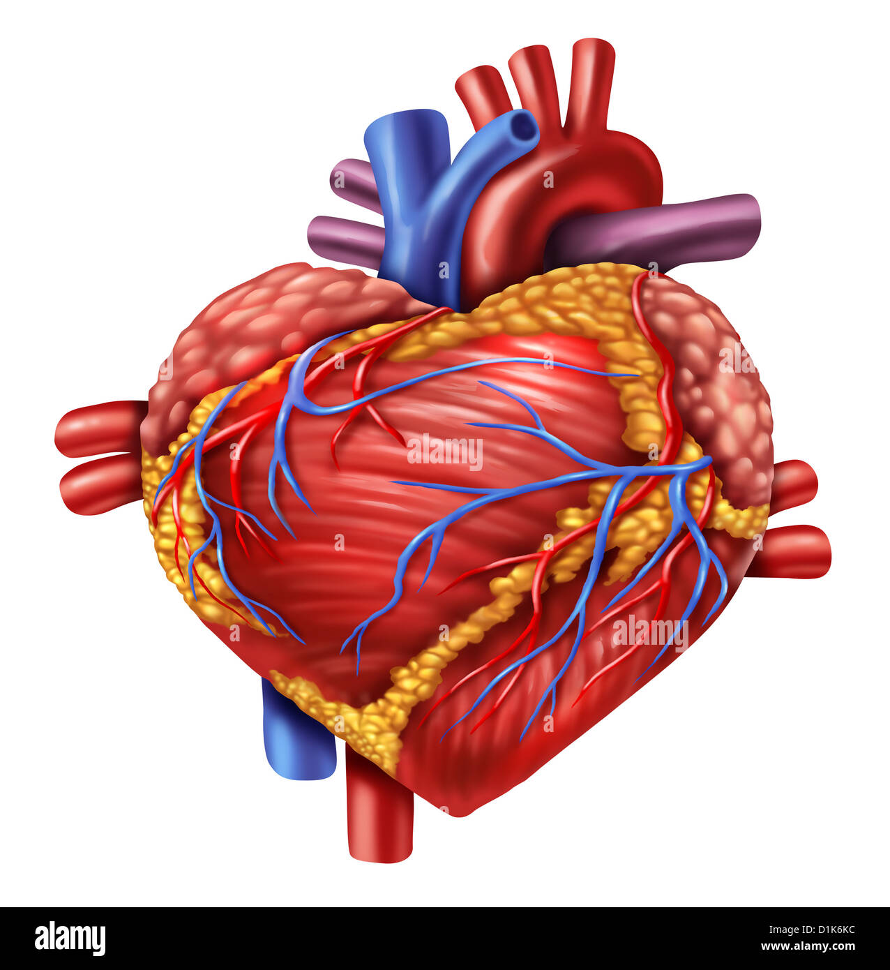 Human Heart In The Shape Of A Love Symbol Using The Organ From The