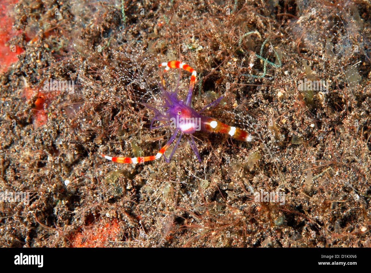 blue-boxer-shrimp-or-violet-banded-coral-shrimp-stenopus-tenuirostris-D1KXN6.jpg