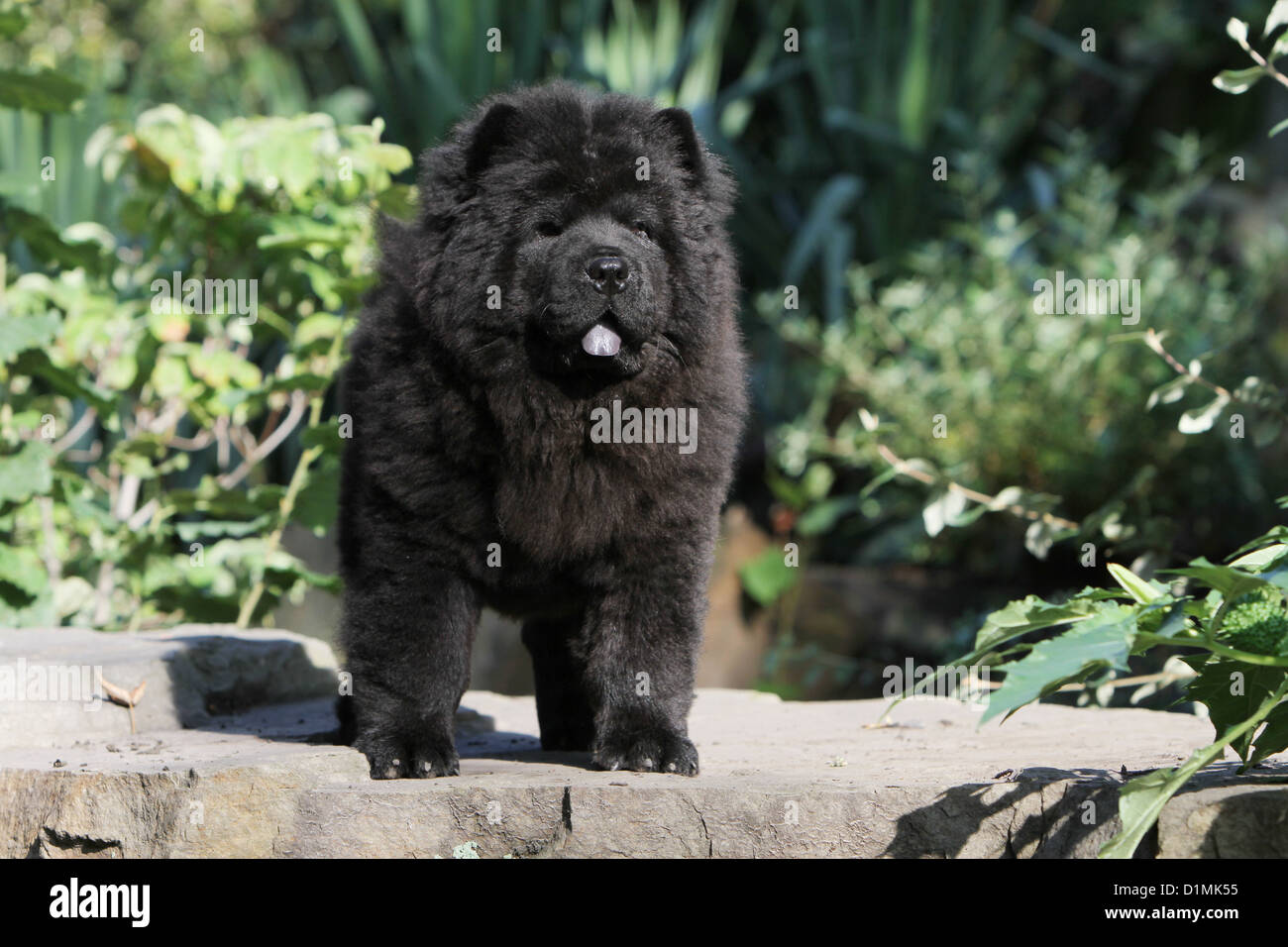 Dog Chow Chow Chow Chow Puppy Black Standing On A Rock Stock Photo