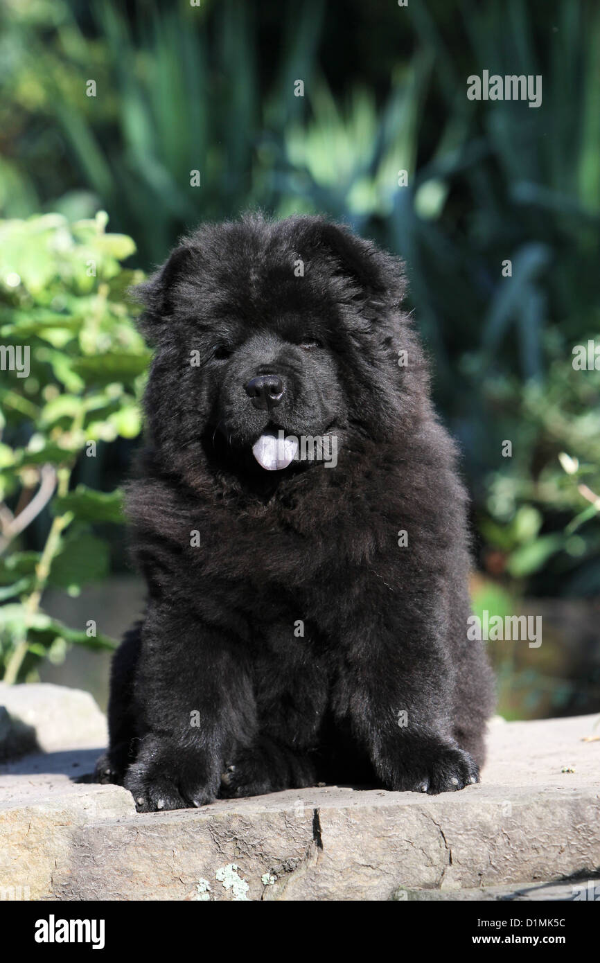 Dog Chow Chow Chow Chow Puppy Black Sitting On A Rock Stock Photo