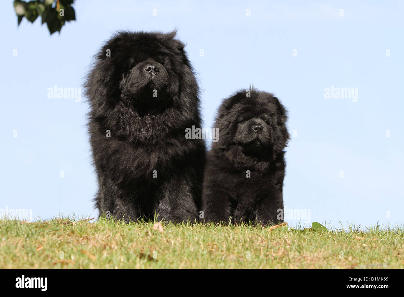 Dog Chow Chow Chow Chow Adult And Puppy Black Sitting In A Meadow