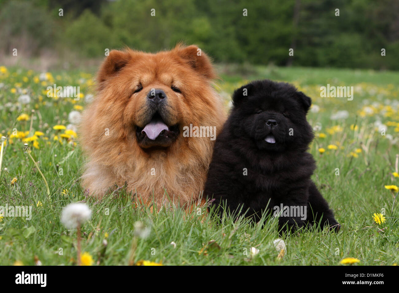 Dog Chow Chow Chow Chow Adult And Puppy Red And Black In A Meadow