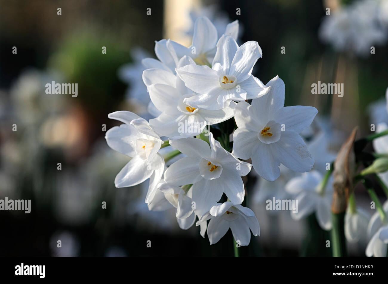 Narcissus Ziva Paperwhites Plants White Flowers Flowering Blooms