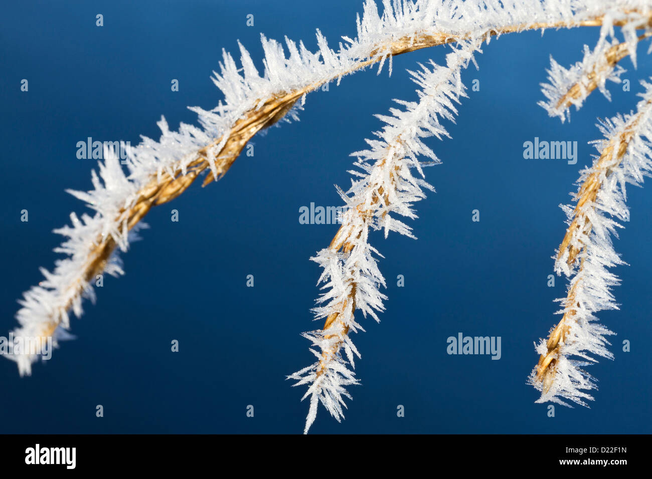Hoarfrost on grass - Stock Image